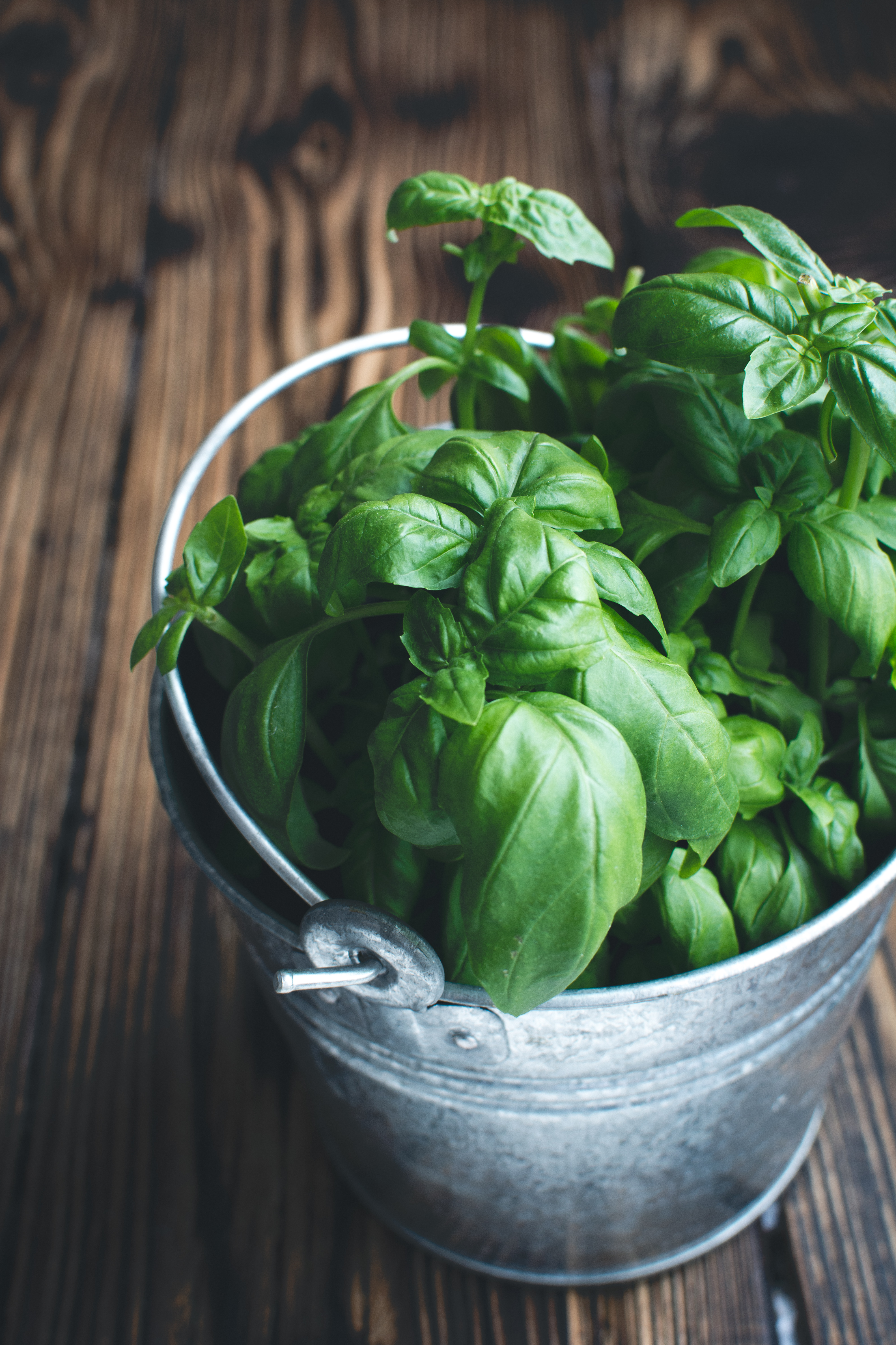 Fresh basil in a bucket