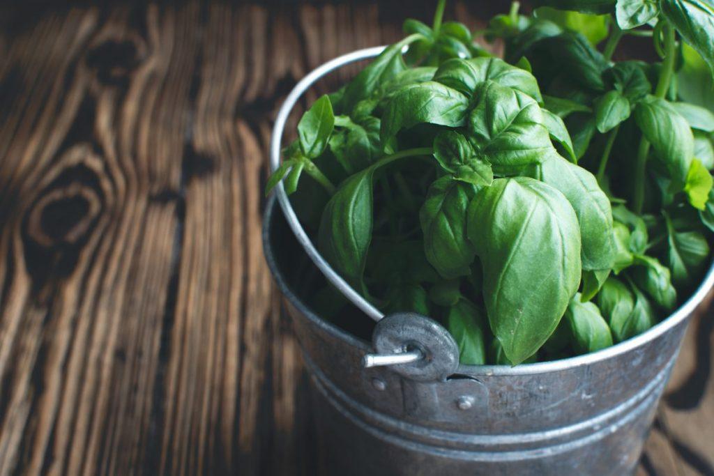 Fresh basil in a bucket