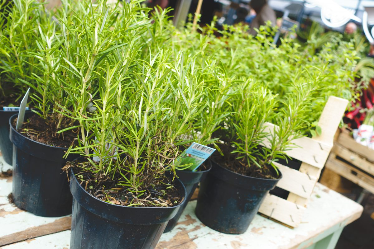 Fresh rosemary at a market