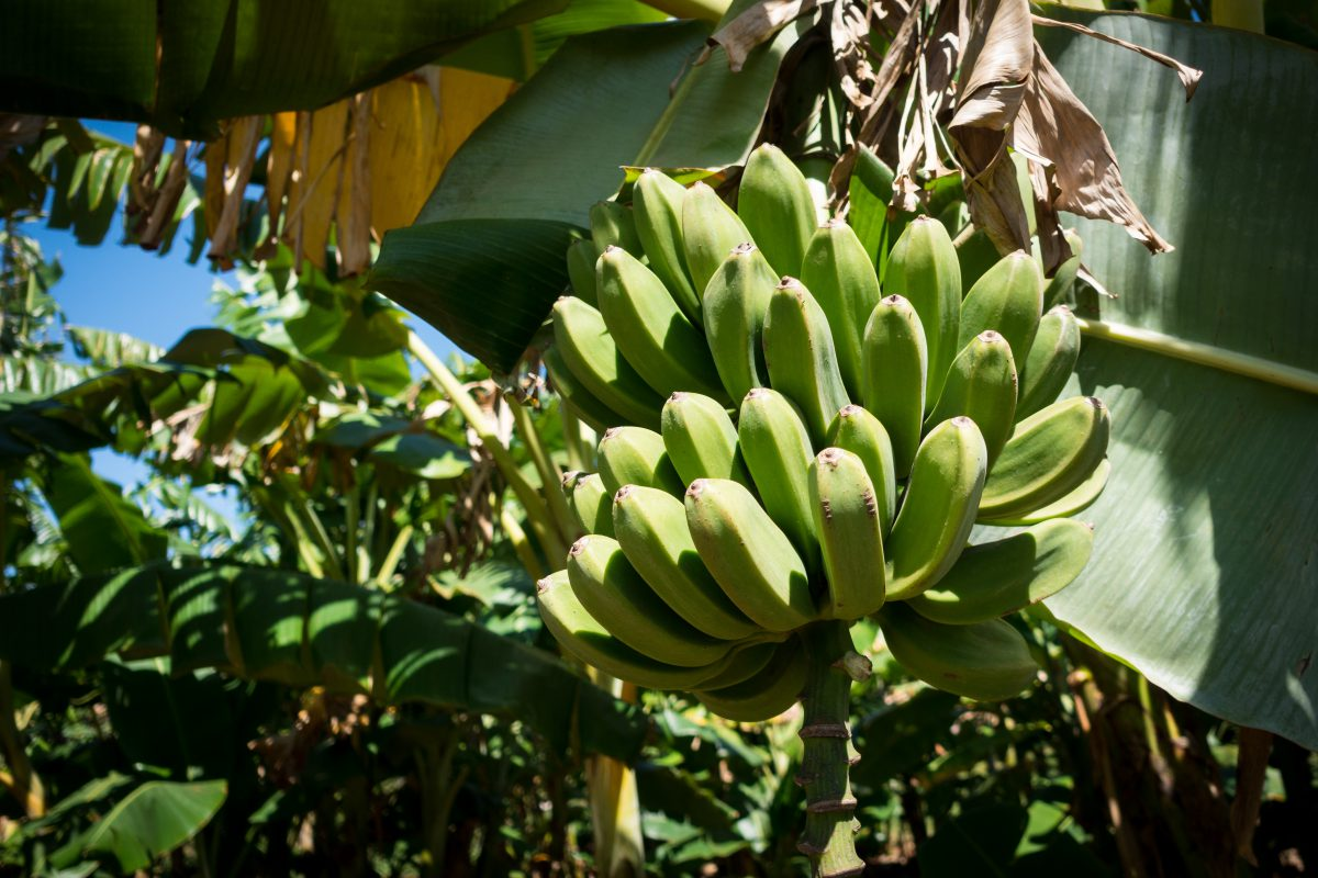Green unripe bananas on a tree