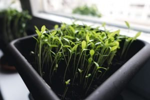 Growing herbs at home