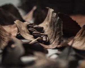 Coffee beans in a leaf macro