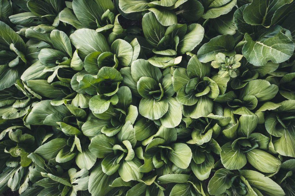 Full frame of fresh Pak choi vegetables